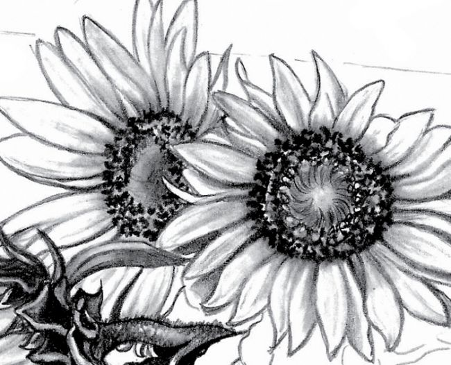 Cool sunflower drawings images for Cool drawing sites