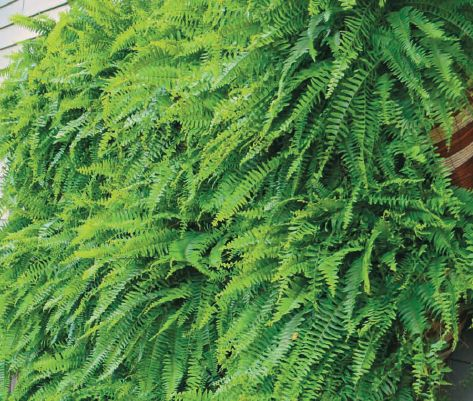 Grow A Vertical Fern Garden